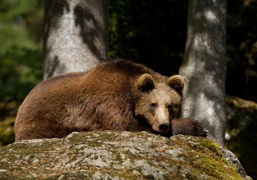 Zur Freude vieler Naturfreunde sind auch wilde Bären in den Alpen wieder heimisch geworden. Doch Nutztierhaltern droht erheblicher Schaden.